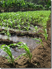 irrigated maize crop - small